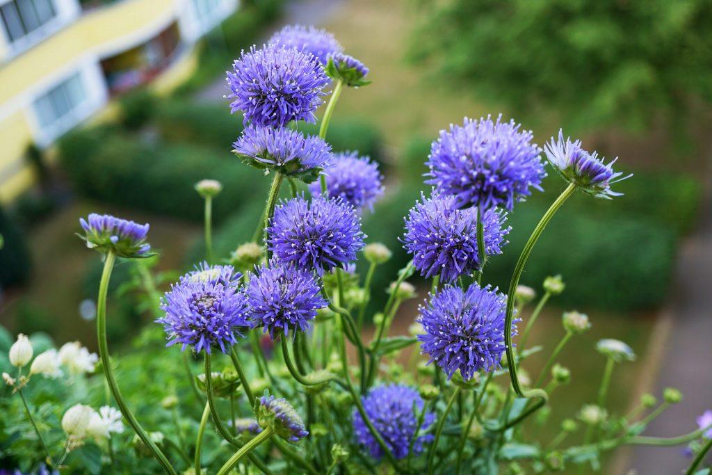 Reichblühend in Glockenblumenblau