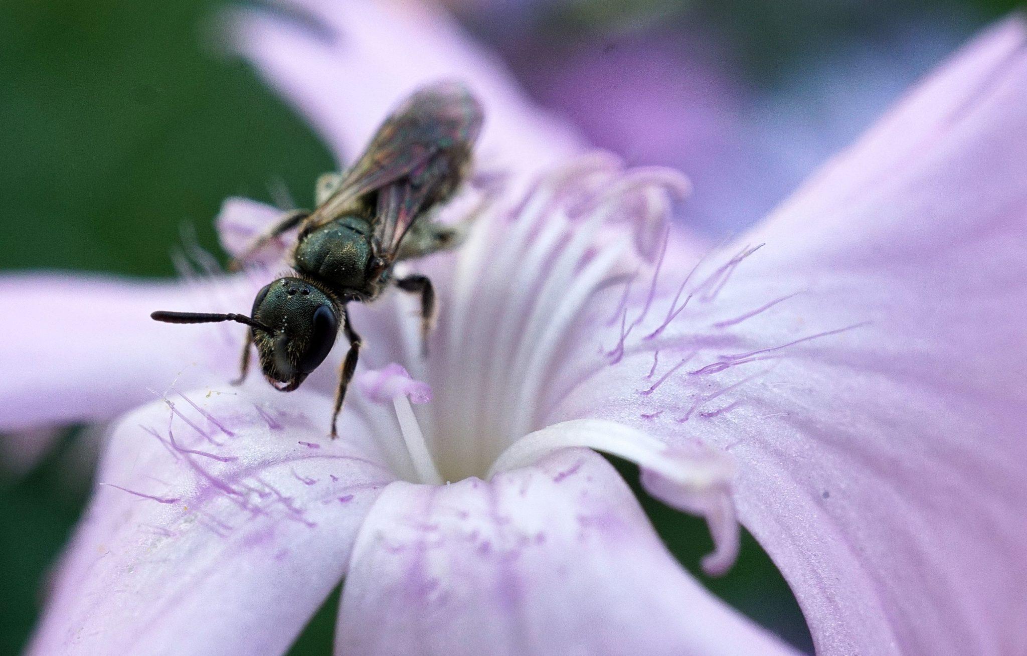 Winzige Wildbiene auf Pfingstnelke